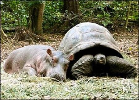 Hippo and a penyu, kura-kura