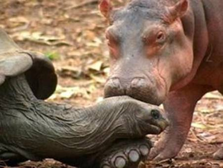 Hippo and a schildkröte