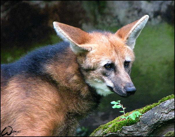 Maned Wolf Habitat Maned Wolf Read Sources