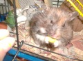 Patches - hamsters photo