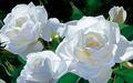 White 장미