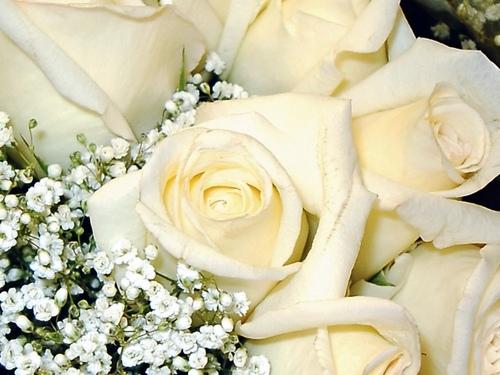 White mga rosas