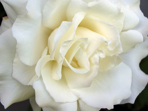 White Roses - flowers Photo