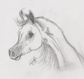 Drawing of an arabian - arabian-horses fan art