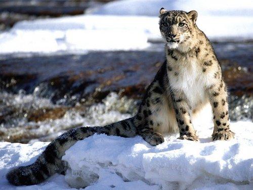 Focused Snow Leopard