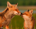 Foxes - fox photo