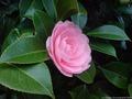 Middlemist's Red - rarest flower in the world