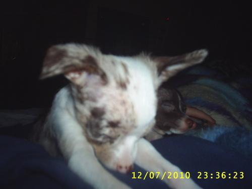 My anjing, anak anjing shimba