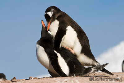 manchot, pingouin l'amour