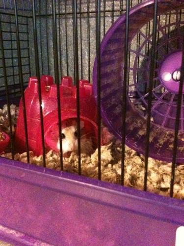 my hamster georia