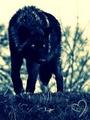 Black wolf! :D