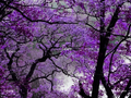 Purple Trees *.* - donata photo