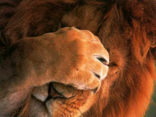 lion shyness