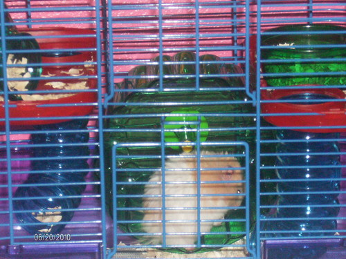 chuột đồng, hamster TEDDY