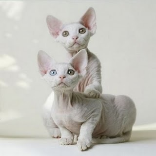 Sphynx Kittens - Sphynx Cats Photo (26057840) - Fanpop