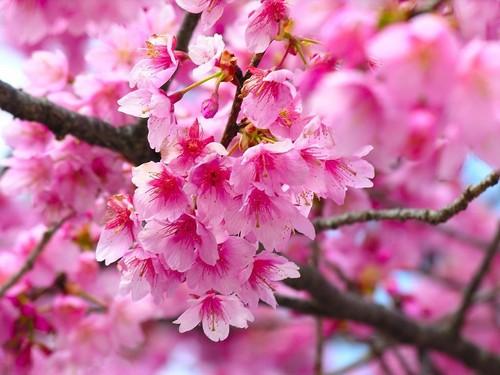 粉, 粉色 花