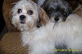 saundae and leelee - lhasa-apso photo