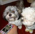 sundae  and lee lee bear  - lhasa-apso photo