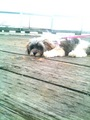 sundae and lele bear  - lhasa-apso photo