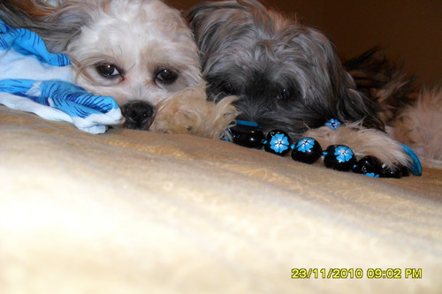 sundae and lele  - lhasa-apso Photo
