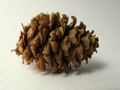 Fresh pinecones - autumn photo