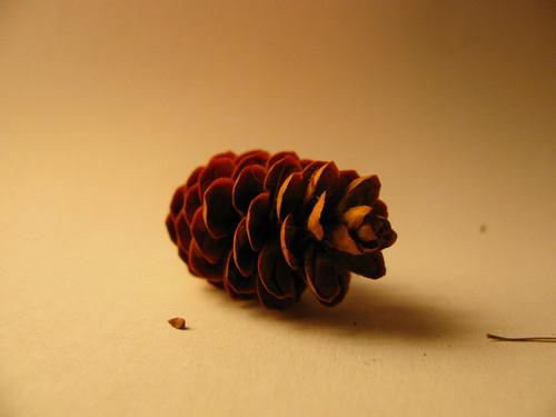 Fresh pinecones