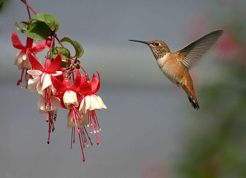 Hummingbirds Images Colibri Hd Fond Décran And Background Photos