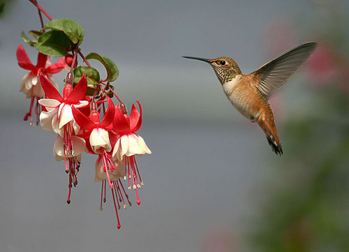 Hummingbird - hummingbirds Photo