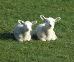 Lambs chilling.