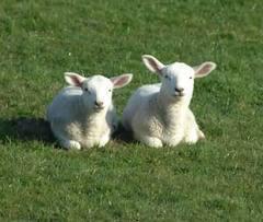 Lambs chilling.