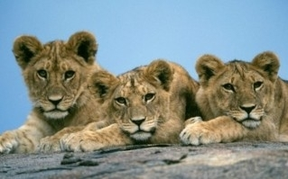 Lion Cubs - lions Photo