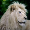 White Lion - lions photo