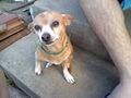 My Chihuahua Sasha - chihuahuas photo