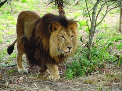 Lions پیپر وال possibly with a lion entitled SINBAD MY ADOPTED LION FROM BORN FREE!!!