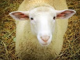 Sheep:Butter wouldnt melt! - sheep Photo