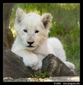 White Lion Cub - lions photo