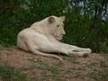 White शेरनी
