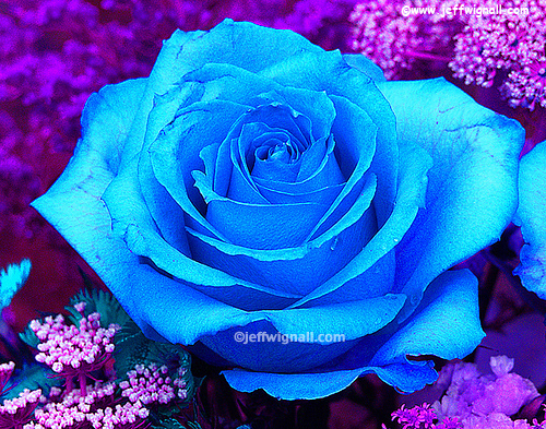 cynthia-selahblue (cynti19) fondo de pantalla containing a red cabbage and a rose entitled Blue rose