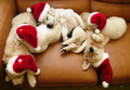 Christmas Puppies <3 - maria-050801090907 photo