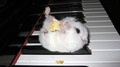 Cute  - hamsters photo