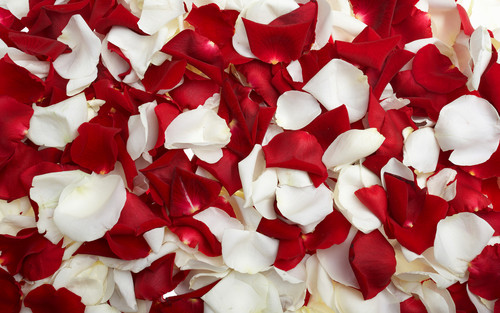Rose Petals - yorkshire_rose Wallpaper