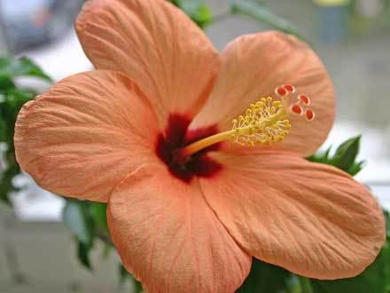 orange hibiskus
