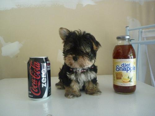 anak anjing, anjing pop