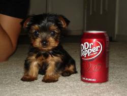 小狗 pop