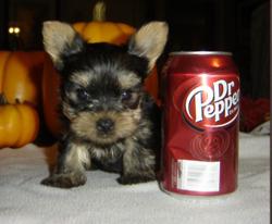 perrito, cachorro pop
