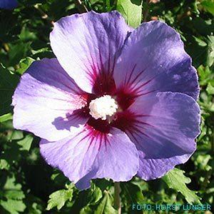 purple hibiskus