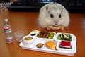 criceto, hamster Breakfast :)
