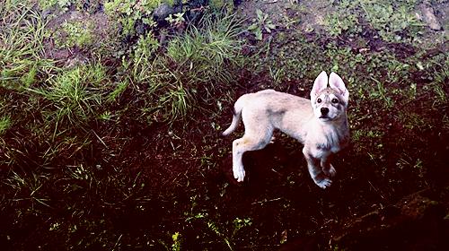 Summer - Bran's direwolf