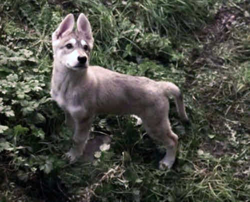 Summer - Bran's direwolf - game-of-thrones-direwolves Photo