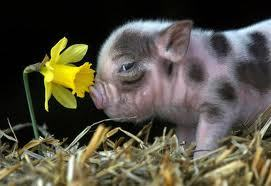 Cutey Pig - pigs Photo